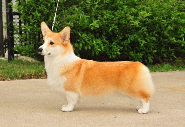 Coventry Corgi