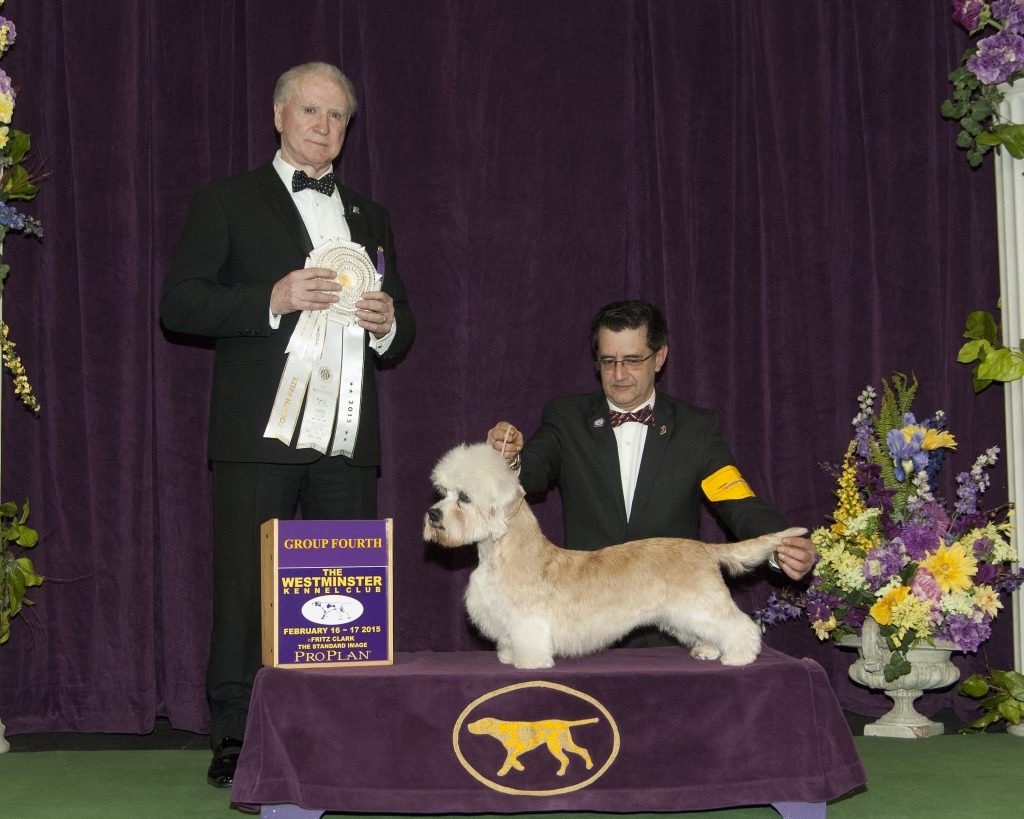 The top winning Dandie bitch of all time, Ch. King's Mtn. Angelina Ballerina