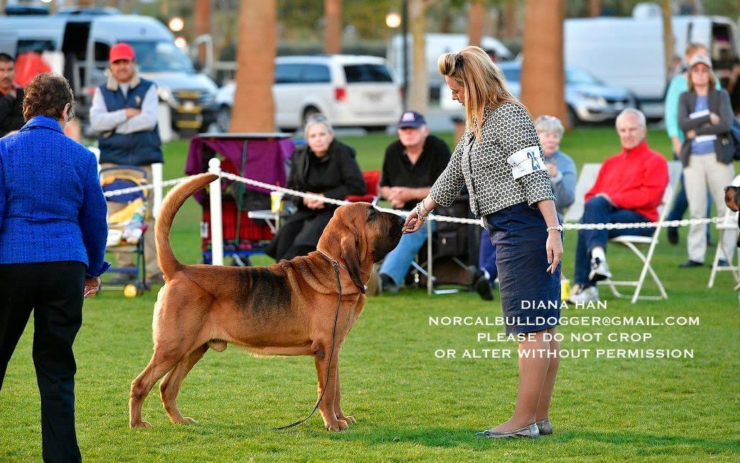 bloodhound susan hamil