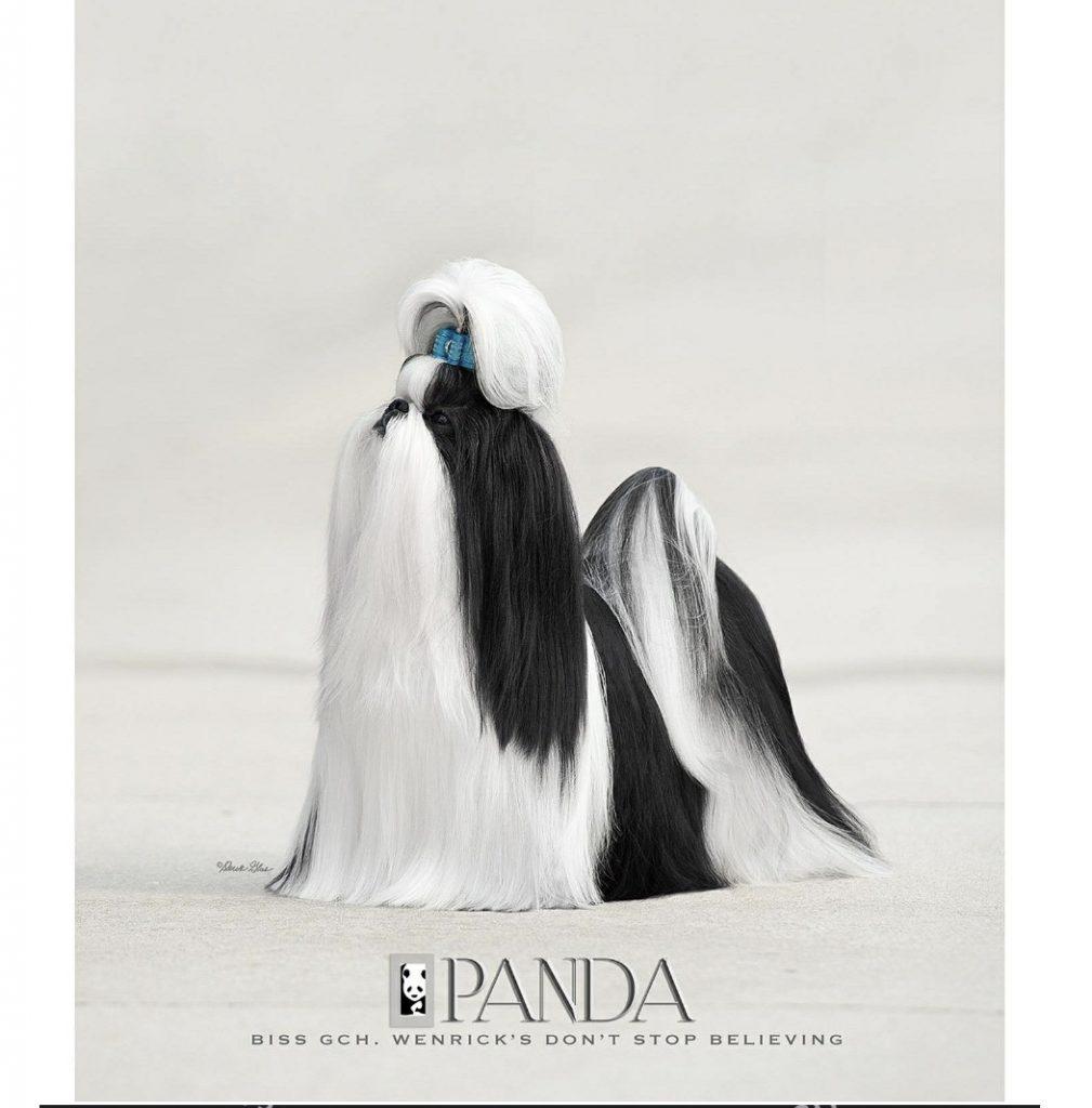 Panda Shih Tzu