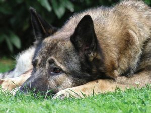 Thyroid Epidemic in Dogs