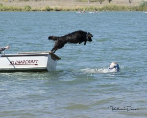 Newfoundland Dog - Katherine Payne Photography