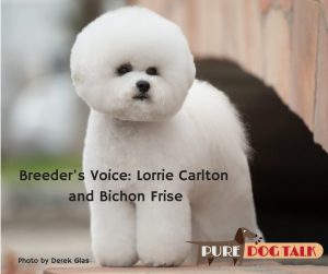Breeder's Voice: Lorrie Carlton on Bichon Frise - Photo by Derek Glass