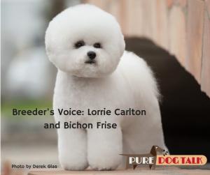 Breeder's Voice: Lorrie Carlton on Bichon Frise - Photo by Derek Glass