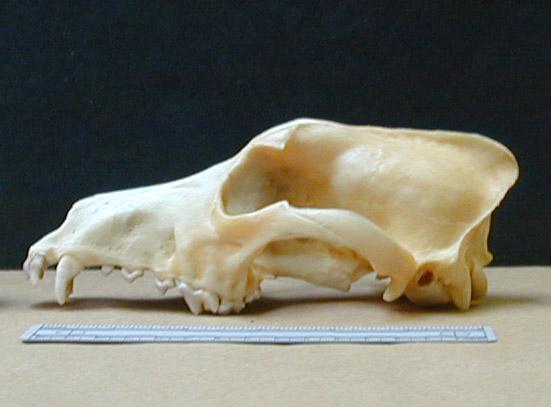 NGSD.male.skull