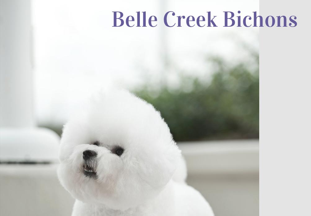 Lorrie Carlton|Bichon Frise Breeder of Flynn|Pure Dog Talk