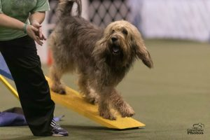 Otterhound in Agility