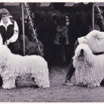 167 – Komondor Breeder Anna Quigley on Cords and Clubs|Pure Dog Talk