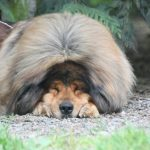 175 — Tibetan Mastiff History, Lore and Modern Living | Pure Dog Talk