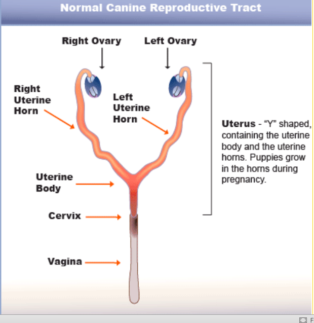 veterinary voice pyometra is an emergency pure dogtalk Uterus Shape with Dog Puppies though it often occurs with middle aged or older unspayed females, younger dogs are sometimes affected pyometra most commonly develops