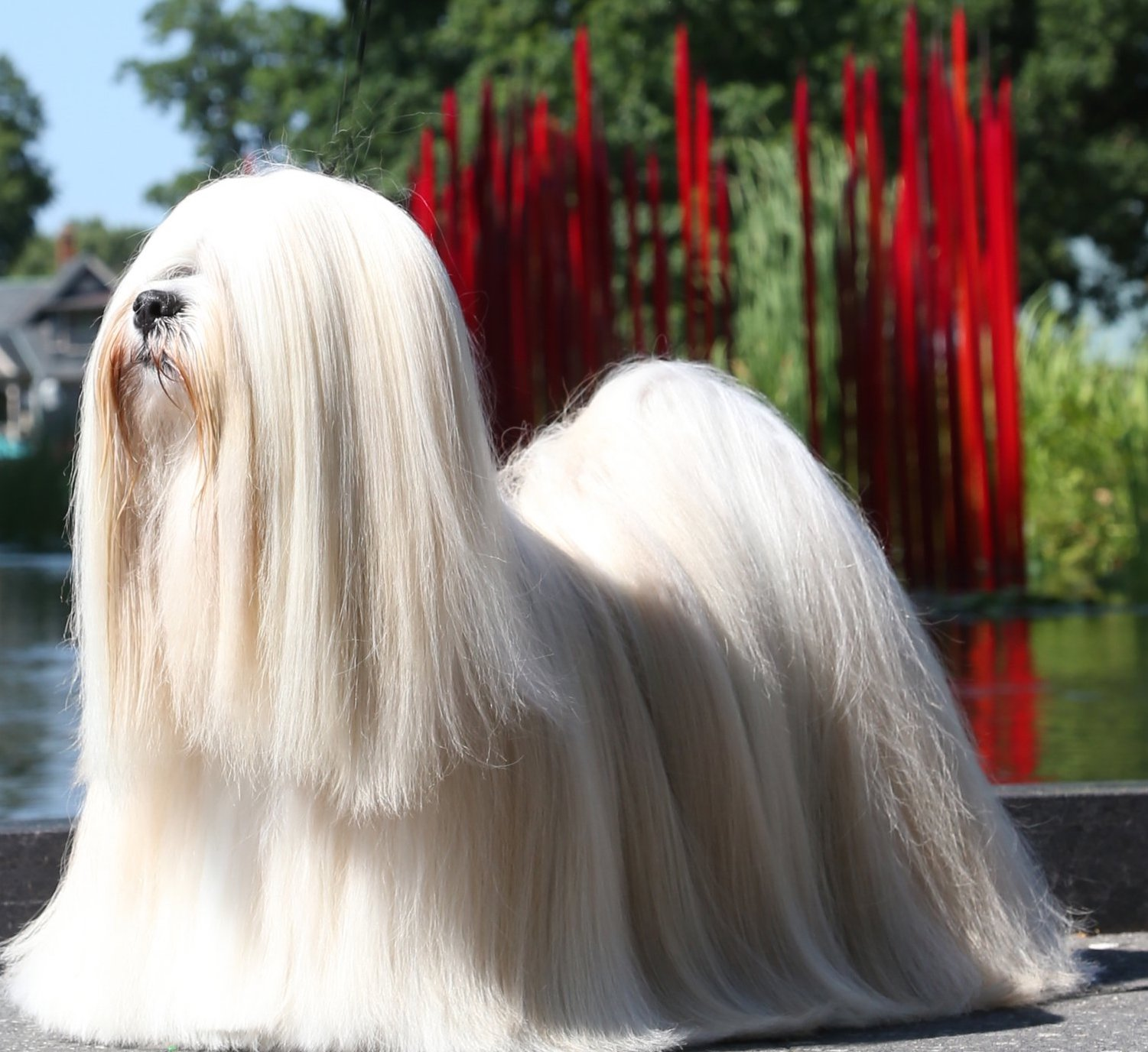 Susan Giles On The Lhasa Apso Grooming And Breeding Pure Dog Talk
