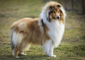 Rough-Collie-3.jpg (800×579)