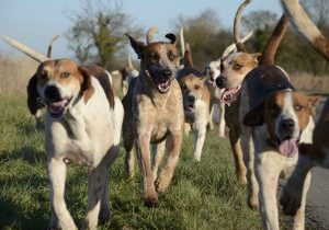 South_Wold_Hunt_foxhounds