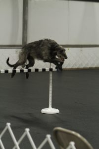 Skyhigh Kentucky Thunder VCD1 UD OAJ, the only male UD Deerhound.
